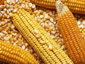China triplicará las compras de maíz