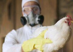 Disertación sobre enfermedades aviares